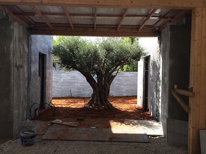 שילוב עצי זית